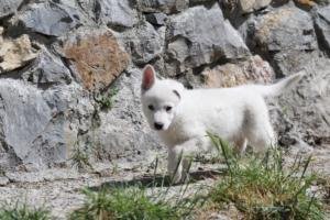 White-Swiss-Shepherd-Puppies-BTWW-I-Litter-140419-0005