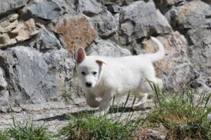 White-Swiss-Shepherd-Puppies-BTWW-I-Litter-140419-0006
