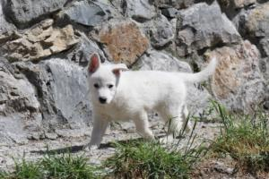 White-Swiss-Shepherd-Puppies-BTWW-I-Litter-140419-0007