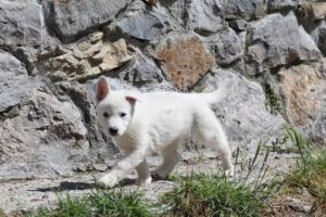 White-Swiss-Shepherd-Puppies-BTWW-I-Litter-140419-0008