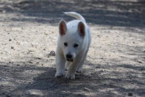 White-Swiss-Shepherd-Puppies-BTWW-I-Litter-140419-0009