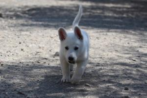 White-Swiss-Shepherd-Puppies-BTWW-I-Litter-140419-0010
