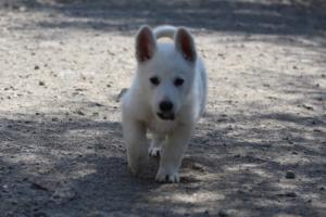 White-Swiss-Shepherd-Puppies-BTWW-I-Litter-140419-0011