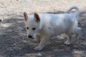 White-Swiss-Shepherd-Puppies-BTWW-I-Litter-140419-0012