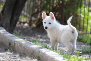 White-Swiss-Shepherd-Puppies-BTWW-I-Litter-140419-0030