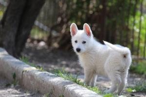 White-Swiss-Shepherd-Puppies-BTWW-I-Litter-140419-0031