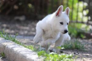 White-Swiss-Shepherd-Puppies-BTWW-I-Litter-140419-0032