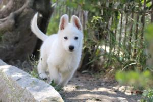 White-Swiss-Shepherd-Puppies-BTWW-I-Litter-140419-0033