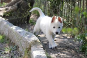 White-Swiss-Shepherd-Puppies-BTWW-I-Litter-140419-0034