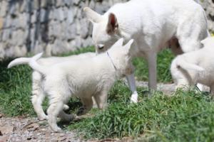 White-Swiss-Shepherd-Puppies-BTWW-I-Litter-140419-0035