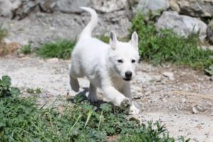 White-Swiss-Shepherd-Puppies-BTWW-I-Litter-140419-0037