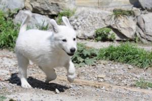 White-Swiss-Shepherd-Puppies-BTWW-I-Litter-140419-0038