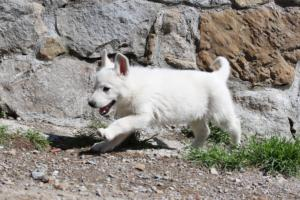 White-Swiss-Shepherd-Puppies-BTWW-I-Litter-140419-0039