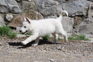 White-Swiss-Shepherd-Puppies-BTWW-I-Litter-140419-0041