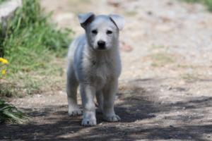 White-Swiss-Shepherd-Puppies-BTWW-I-Litter-140419-0043