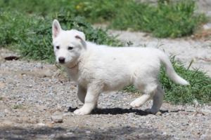 White-Swiss-Shepherd-Puppies-BTWW-I-Litter-140419-0044
