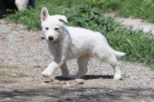White-Swiss-Shepherd-Puppies-BTWW-I-Litter-140419-0046