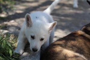 White-Swiss-Shepherd-Puppies-BTWW-I-Litter-140419-0049
