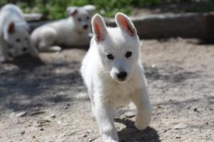 White-Swiss-Shepherd-Puppies-BTWW-I-Litter-140419-0050