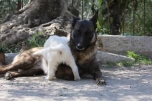 White-Swiss-Shepherd-Puppies-BTWW-I-Litter-140419-0051