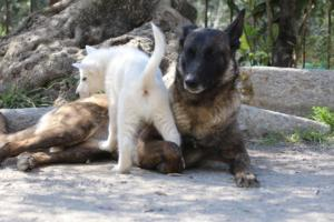 White-Swiss-Shepherd-Puppies-BTWW-I-Litter-140419-0052