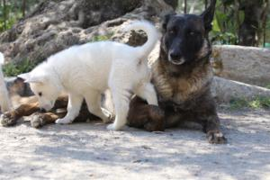 White-Swiss-Shepherd-Puppies-BTWW-I-Litter-140419-0053