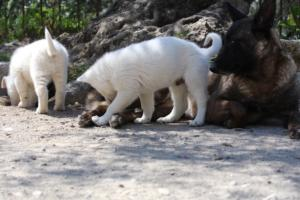 White-Swiss-Shepherd-Puppies-BTWW-I-Litter-140419-0054
