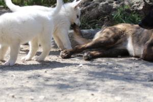 White-Swiss-Shepherd-Puppies-BTWW-I-Litter-140419-0055
