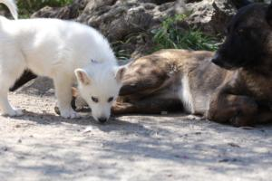 White-Swiss-Shepherd-Puppies-BTWW-I-Litter-140419-0059