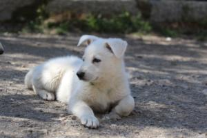 White-Swiss-Shepherd-Puppies-BTWW-I-Litter-140419-0060