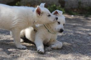 White-Swiss-Shepherd-Puppies-BTWW-I-Litter-140419-0061