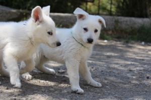 White-Swiss-Shepherd-Puppies-BTWW-I-Litter-140419-0062