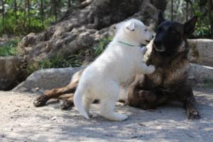White-Swiss-Shepherd-Puppies-BTWW-I-Litter-140419-0063