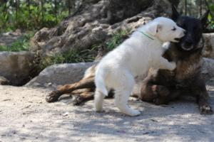 White-Swiss-Shepherd-Puppies-BTWW-I-Litter-140419-0064