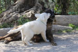 White-Swiss-Shepherd-Puppies-BTWW-I-Litter-140419-0065
