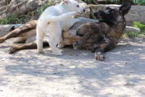 White-Swiss-Shepherd-Puppies-BTWW-I-Litter-140419-0066