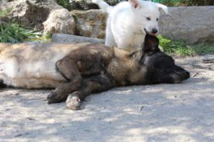 White-Swiss-Shepherd-Puppies-BTWW-I-Litter-140419-0069