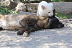 White-Swiss-Shepherd-Puppies-BTWW-I-Litter-140419-0070