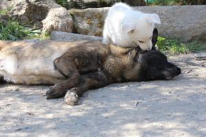 White-Swiss-Shepherd-Puppies-BTWW-I-Litter-140419-0071