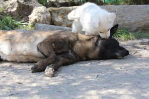 White-Swiss-Shepherd-Puppies-BTWW-I-Litter-140419-0072