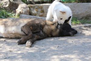 White-Swiss-Shepherd-Puppies-BTWW-I-Litter-140419-0073