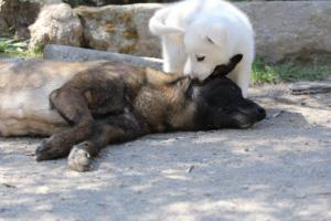 White-Swiss-Shepherd-Puppies-BTWW-I-Litter-140419-0074