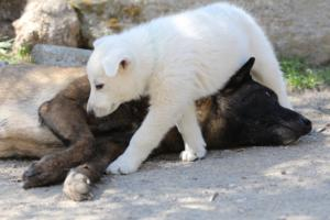White-Swiss-Shepherd-Puppies-BTWW-I-Litter-140419-0075