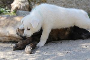 White-Swiss-Shepherd-Puppies-BTWW-I-Litter-140419-0076