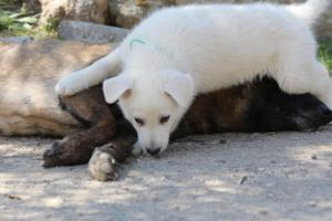 White-Swiss-Shepherd-Puppies-BTWW-I-Litter-140419-0077