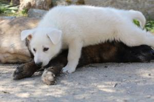 White-Swiss-Shepherd-Puppies-BTWW-I-Litter-140419-0078