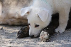 White-Swiss-Shepherd-Puppies-BTWW-I-Litter-140419-0079
