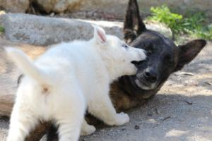 White-Swiss-Shepherd-Puppies-BTWW-I-Litter-140419-0081