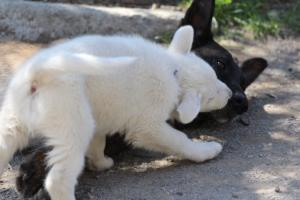 White-Swiss-Shepherd-Puppies-BTWW-I-Litter-140419-0082