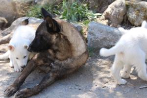 White-Swiss-Shepherd-Puppies-BTWW-I-Litter-140419-0084